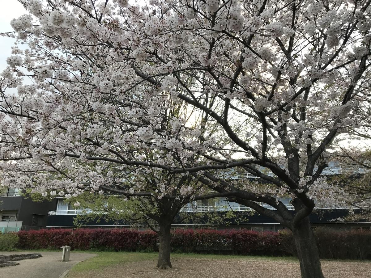 家の横で桜お花見 茨城のドライブスルーお花見&もろもろ